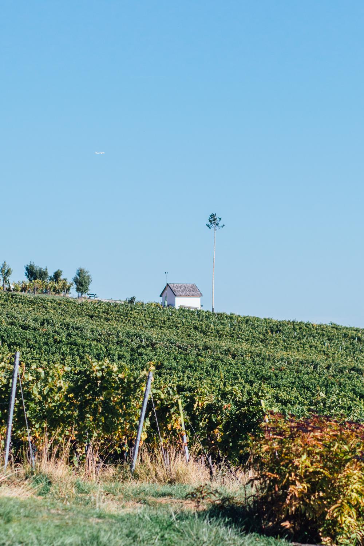 Weingarten mit Hüterhäuschen im Hintergrund