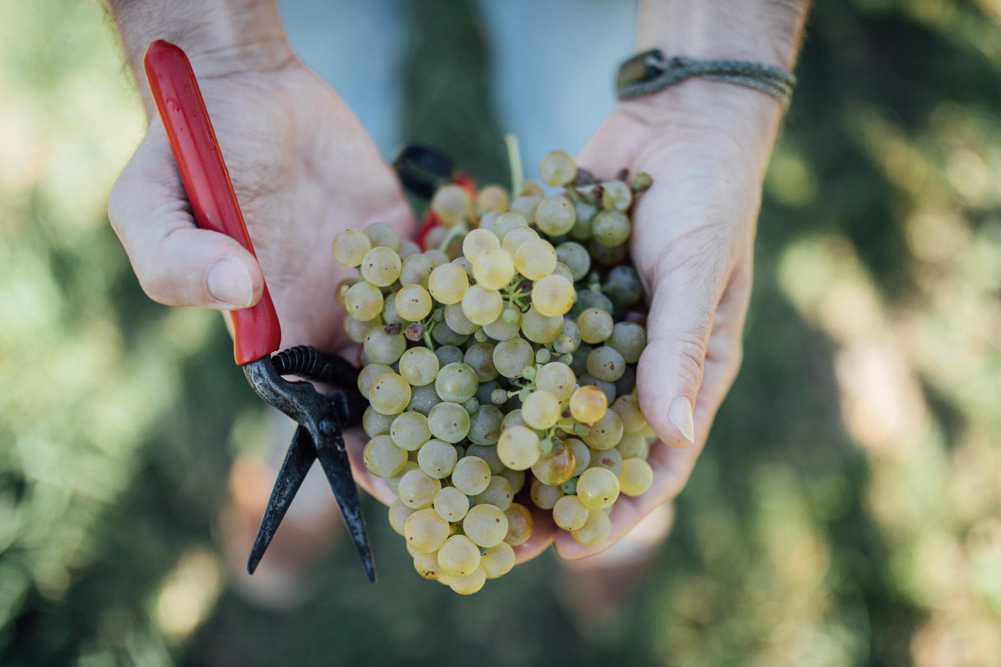 Zwei Hände mit Weintrauben und einem Zwicker