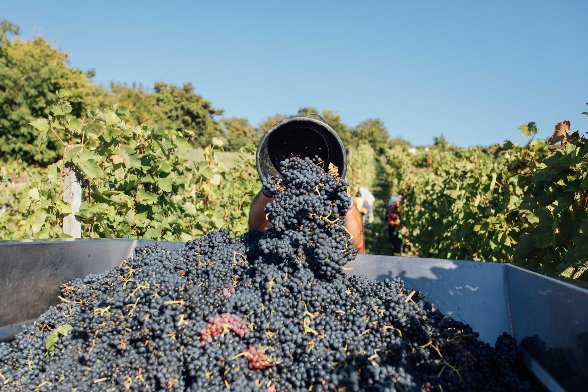 Weintrauben werden auf den Traktor geladen
